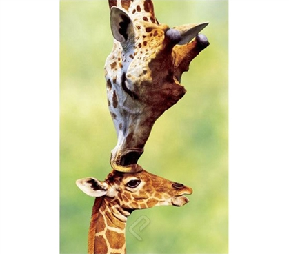 Giraffe Mom Kissing Baby Poster
