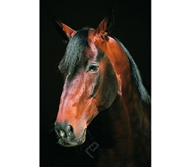 Majestic Horse Head Close-Up Poster