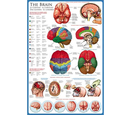 The Human BRAIN & Anatomy - Biology Poster