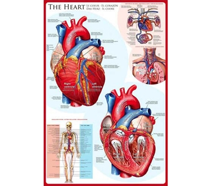 The Human HEART Poster - Perfect for Science Students