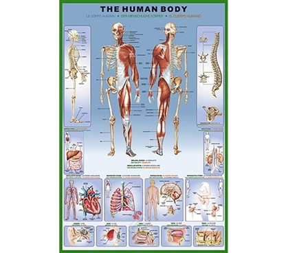 Informative - The Human Body and Skeleton - Anatomy Poster