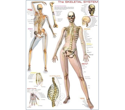 Skeletal System & Anatomy - Poster Essential