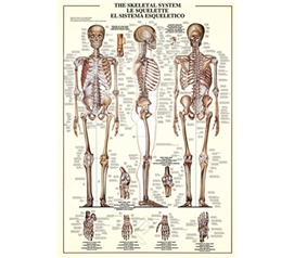 Understand Your Body with the Skeletal System Poster