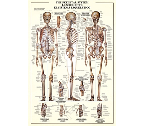 The Skeletal System Poster Essential for College Dorms