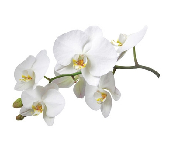 White Orchid Flower Wall Art