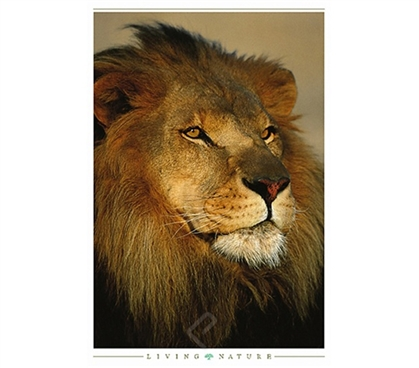 Untamed Photo of African Lion Poster