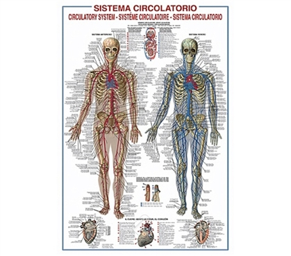 Circulatory System of the Body College Poster