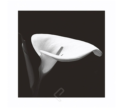 Calla Lily 3 College Dorm Room Poster beautiful black and white detailed photograph of lily on dorm room size poster
