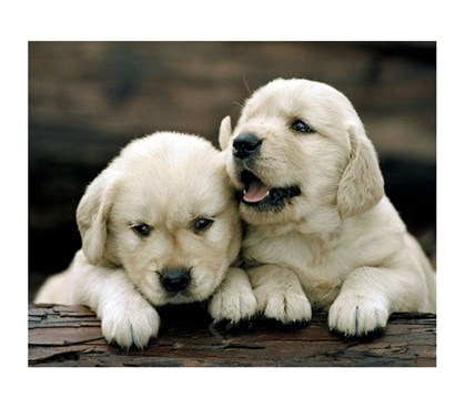 Golden Retrievers Puppies College Dorm Poster tumbling and bumbling cute puppies play in this cute dorm size poster