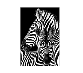 Zebras Dorm Poster Dorm Room Decorations College Wall Decor