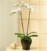 Double Orchid Plant in Green Moss Basket