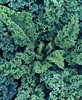 Kale bunch (blue curly) - ORGANICALLY GROWN SA