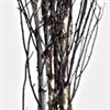 Birch tree, 8'-10' (bundle of 5 trees, shipping included!)