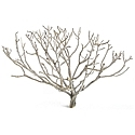 "Coral bush, 19-24"", case of five bushes(shipping included!)"