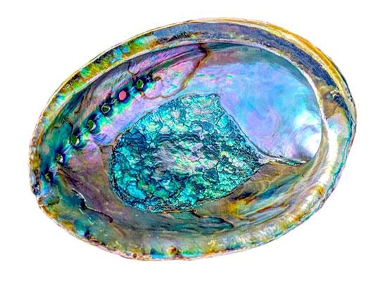 Abalone Shell Wholesale