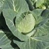 Cabbage - Early Jersey Wakefield | The Good Seed Company