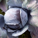 Cabbage - Red Acre | The Good Seed Company