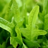 Greens - Arugula - Roquette | The Good Seed Company