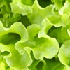 Lettuce - Salad  Bowl | The Good Seed Company
