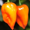 Hot Pepper - Habanero | The Good Seed Company