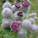 Herb - Burdock | The Good Seed Company