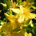 Herb - St John's Wort | The Good Seed Company
