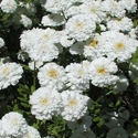 Herb - Feverfew | The Good Seed Company