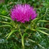 Herb - Milk Thistle | The Good Seed Company