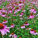 Herb - Echinacea purpurea | The Good Seed Company