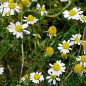 Herb - Chamomile - German | The Good Seed Company