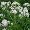 Herb - Boneset | The Good Seed Company