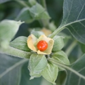 Herb - Ashwagandha | The Good Seed Company
