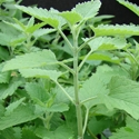 Herb - Catnip | The Good Seed Company