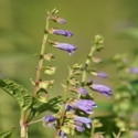 Herb - Skullcap | The Good Seed Company