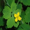 Herb - Celandine | The Good Seed Company