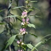 Herb - Motherwort | The Good Seed Company