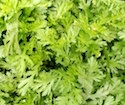 Greens - Shungiku, Edible Chrysanthemum | The Good Seed Company