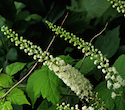 Herb - Black Cohosh | The Good Seed Company
