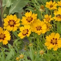 Coreopsis - Lanceleaf | The Good Seed Company