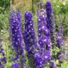 Delphinium | The Good Seed Company