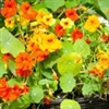 Nasturtium | The Good Seed Company