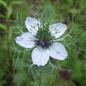 Love-in-a-mist | The Good Seed Company
