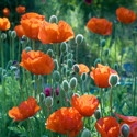 Poppy Seed Mix | The Good Seed Company
