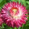 Flower-Strawflower, Glacier Mix | The Good Seed Company