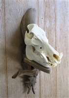 Driftwood Wall Mount for Wild Boar