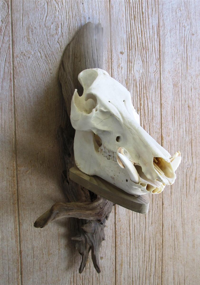 Driftwood Wall Mount For Wild Boar