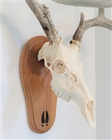 Medium Oak Deer Track European Skull Mount Face Plate