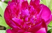 Brand's Magnificent Peony