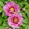Yankee Doodle Dandy ITOH Peony