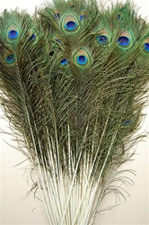 Peacock Feather Tails 50-55""